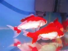 Nama Nama Ikan Hias Air Tawar Dan Gambarnya Nama Nama