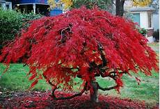 erable nain du japon japanese maple i took this picture prior to the