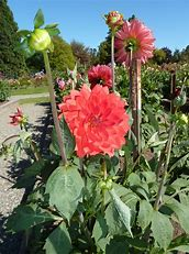 Image result for large dahlias