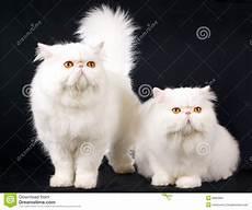 prezzi gatti persiani 2 persiani bianchi sul nero immagine stock immagine di