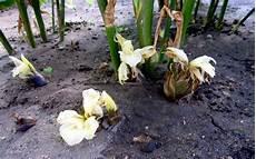 Japanischer Ingwer Myoga Pflanze Zingiber Mioga