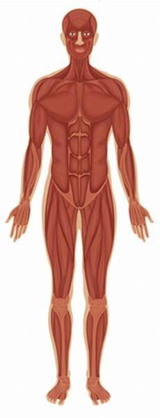 12 Anatomi Tubuh Manusia Bagian Organ Fungsi Dan Gambar
