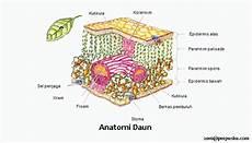 Struktur Morfologi Dan Anatomi Daun Tumbuhan