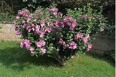 hibiskus strauch schneiden seeds for hibiscus plants