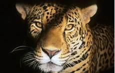 what is a jaguar called jaguar facts national geographic