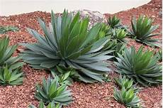 agave pflanze dekorativ im garten im freien der