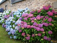 taille des hortensias hydrang 233 s