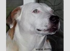 The Bull Mastiff German Shepherd Mix   AllMutt.com