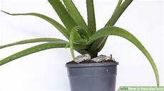 aloe vera topfpflanze easy ways to plant aloe vera with wikihow