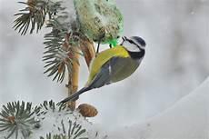 Blaumeise Im Winter Foto Bild Tiere Natur Bilder Auf