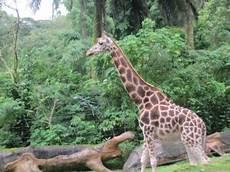 Taman Safari Indonesia Gede Agus Aditya