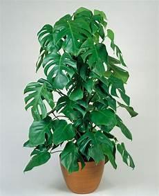 Pflanzen Die Die Luft Reinigen 12 Pflegeleichte Zimmerpflanzen Die Am Besten Giftige