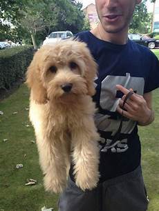 10 best cavapoo haircuts images pinterest doggies cubs and puppies