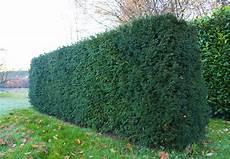 lebender zaun immergrün die eibe ideal als immergr 252 ne heckenpflanze und