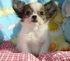 chihuahua mix welpen chihuahua mix puppies new photos 2012 and