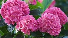 wann werden hortensien geschnitten b 228 ume und str 228 ucher schneiden gartengeheimnis at
