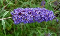 nomi di fiori esotici tra orto e giardino la buddleja davidii la pianta amata