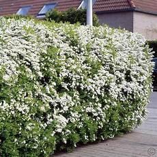 spierstrauch arguta heckenpflanze 5 heckenpflanzen