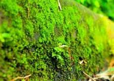 Ciri Ciri Lumut Beserta Jenis Dan Pengertian Tumbuhan Lumut