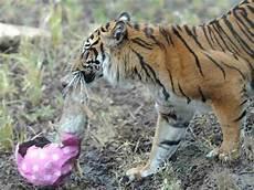 Harimau Sumatra Jantan Bunuh Pasangannya Di Kebun Binatang