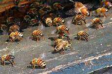 sterben bienen im winter milben viren gift klimawandel bienen sterben weltweit
