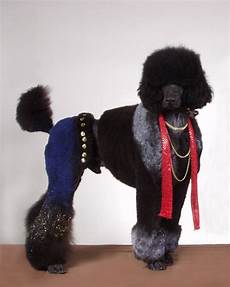 strange poodle haircuts 12 pics curious funny photos pictures