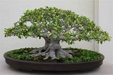 Ginseng Ficus The Bonsai Tree For The Beginner