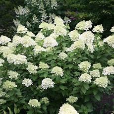 Buy Hydrangea Hydrangea Paniculata Limelight Pbr