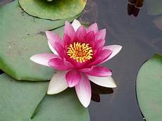 Pink Lotus Flower And Its Meaning Lotus Flower Pictures
