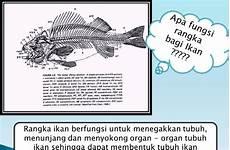 Gambar Kerangka Ikan Dan Fungsinya Gambar Ikan Hd