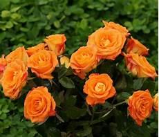 Foto Bunga Mawar Orange Gambar Bunga Hd