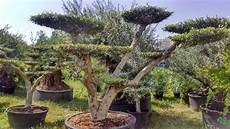 olivier nuage pas cher jardinerie des tropiques a muret et labarthe pierres
