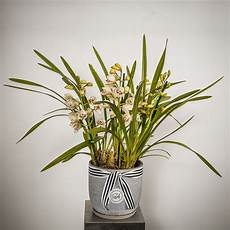 care sheet cymbidium orchids avery florists