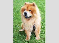Chow Chow   Hund   Wesen, Erziehung und Eigenschaften