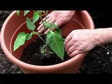Tomaten In K 252 Beln Pflanzen Mpg