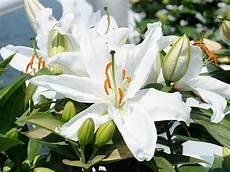 gigli fiore giglio lilium giardinaggio mobi