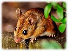 Maus Im Haus Fangen - wie fangt mause in der wohnung