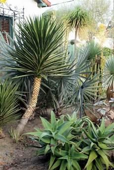 Palmen Für Den Garten - yucca palme 26 fantastische bilder zur inspiration