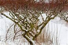 Tellerpfirsich Baum 187 Anspr 252 Che Und Pflegehinweise