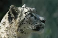 schneeleopard uncia uncia oder panthera uncial stockfoto