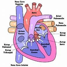 Sistem Peredaran Darah Pada Manusia Create Your World