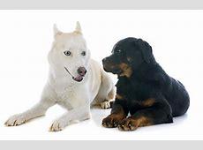 Information About the Rottweiler Siberian Husky Mix (Rottsky)