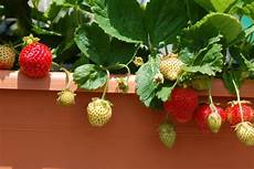 piante di fragole in vaso grow strawberries in containers hgtv