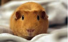 Hamster Wallpapers Images Photos Pictures Backgrounds
