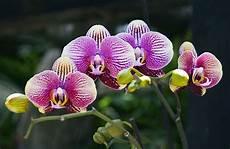 immagini fiori orchidee orchideen experten tipps zu kauf standort pflege