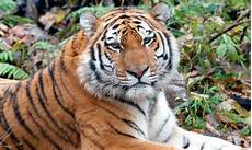protecting amur tigers in the russian far east pages wwf
