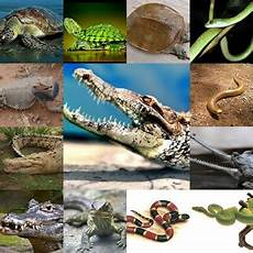 Ciri Ciri Hewan Kelas Reptil Hewan Vertebrata Jdsk