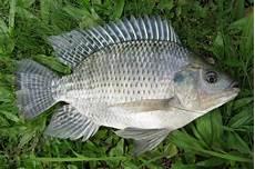 Ikan Mujair Adearisandi S