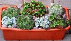 sukkulenten winterhart balkonkasten bepflanzter balkonkasten 40 cm sempervivum sedum