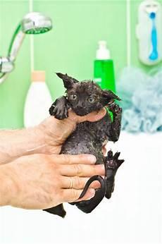 vasca privazione sensoriale gatto inzuppato nero sveglio dopo un bagno immagine stock